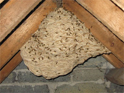 Wasp Nest in Loft Space